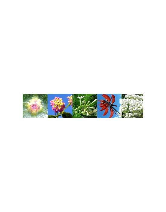 Blüten Confidence Vertrauen Australische Buschblüten Aurasprays