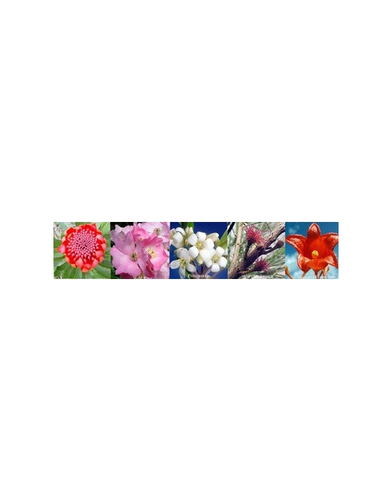 Flowers for Feminine Aura Sprays Australian Flower Essences