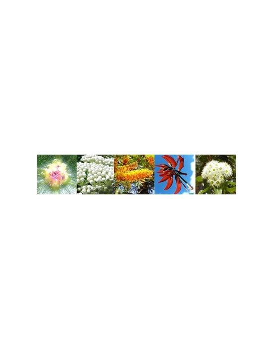 Blüten Focus Konzentration Australische Blütenessenzen Aurasprays
