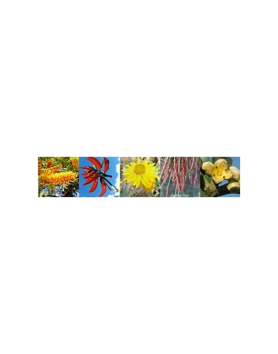 Flowers for Masculine  Aura spray Australian Flower Essences