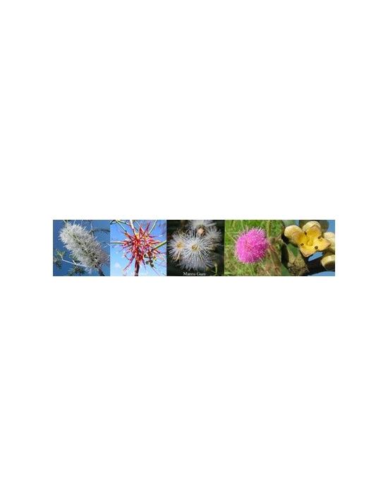 Blüten für Relief Notfall Australische Buschblüten Aurasprays