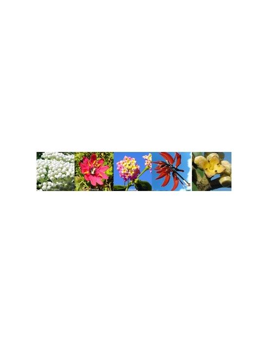Blüten für Success Erfolg Australische Buschblüten Aurasprays