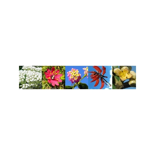 Flower for Success Abundance Aura spray Australian Flower Essences