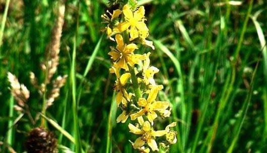 Agrimony Bio Bachblüten Odermennig